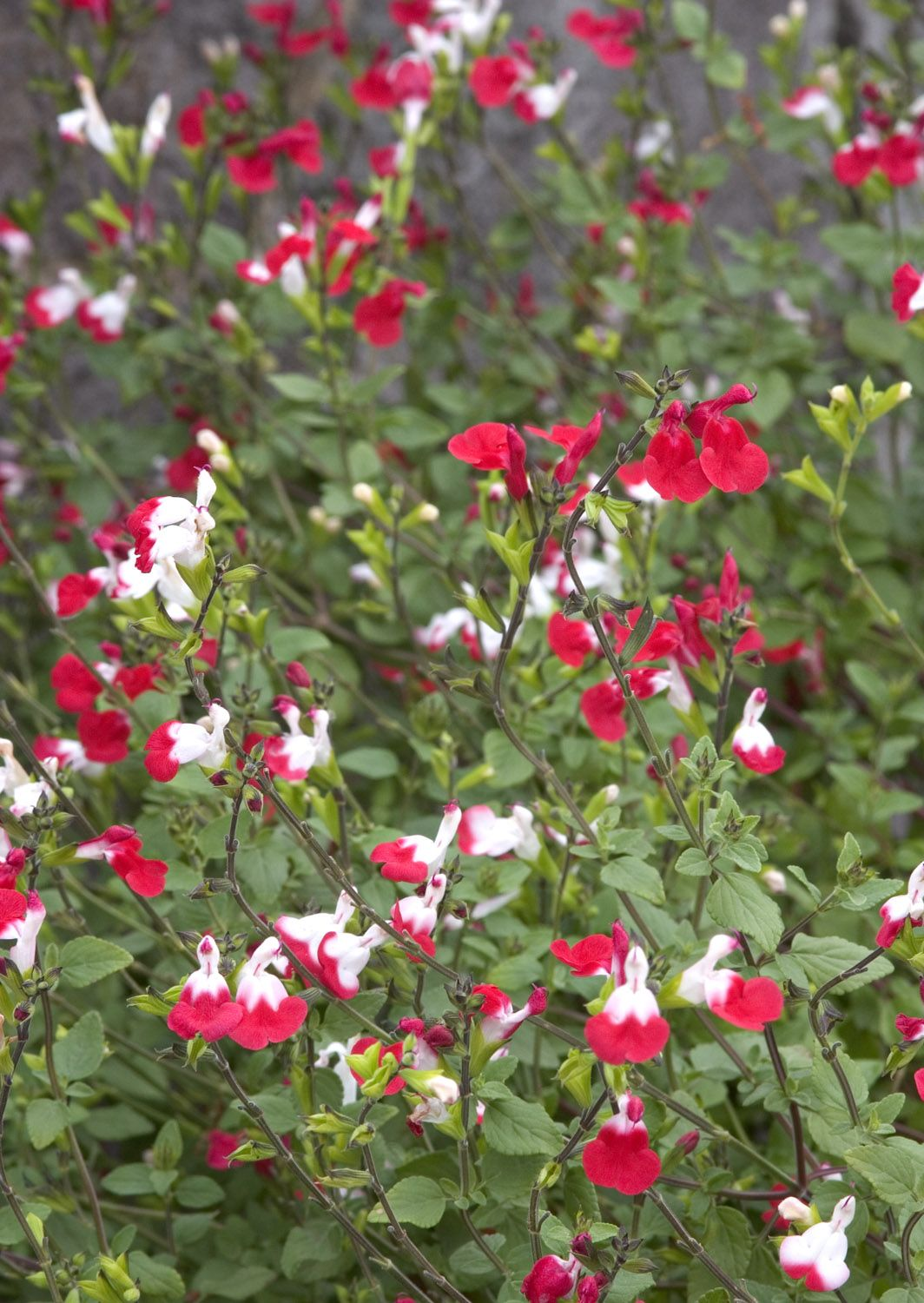 hot lips sage salvia microphylla 39 hot lips 39 could this be. Black Bedroom Furniture Sets. Home Design Ideas