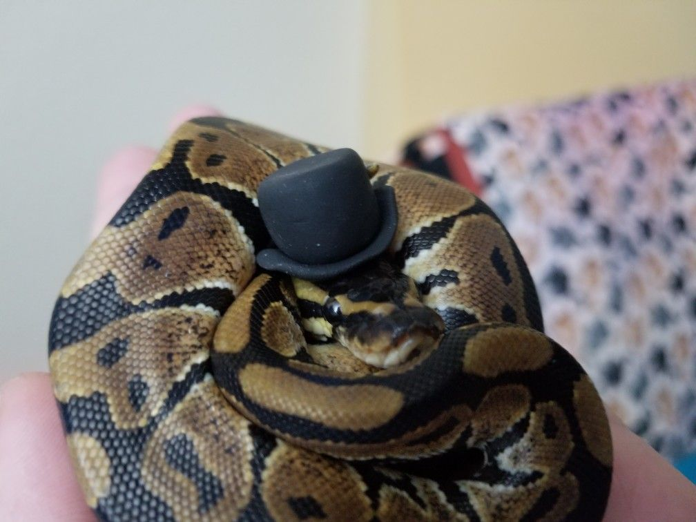 cute baby ball python in a hat his name is boop noodle 3 my ball