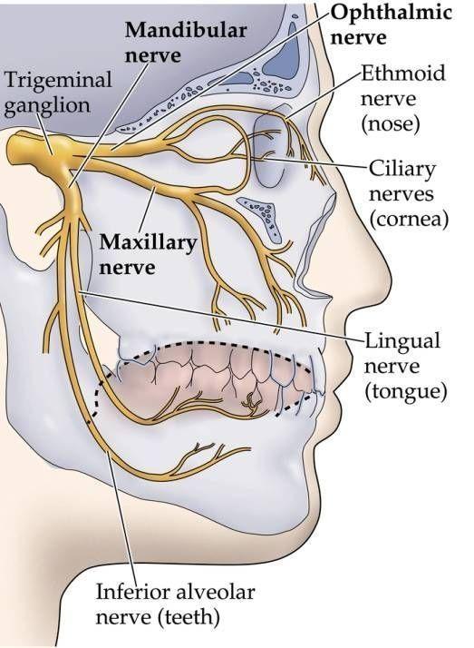 Dentaltown - The trigeminal nerve, a.k.a. the fifth cranial nerve ...