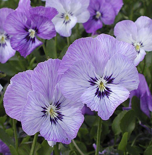 Viola 'Magic' | Pansies flowers, Tulip flower pictures ...