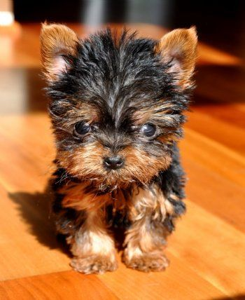 Micro Teacup Yorkie Tiny Tiny Tiny 9 Oz At 11 Weeks My New Mommy