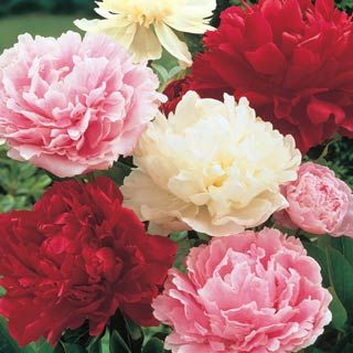 Peonies For the flower garden. Perfect for vases.