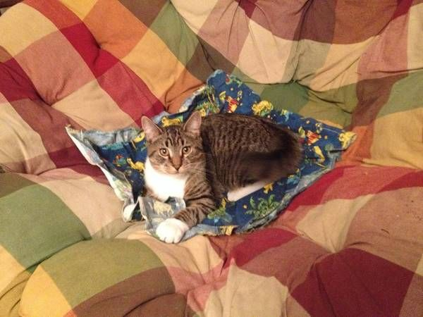 Lost Cat American Shorthair In Waterbury Ct Pet Name Smokey Id 18544 Gender Male Breed American Shorthair Colo Lost Cat American Shorthair Cats