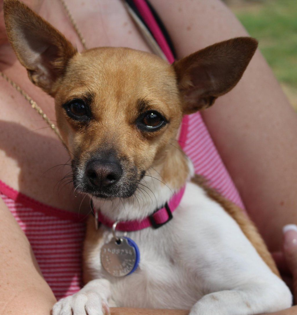 Gayweho Dogs 4 U On Dogs Chihuahua Adoption