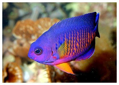 Pygmy Angelfish The Coral Beauty Angel Marine Fish Saltwater Aquarium Fish Saltwater Fish Tanks