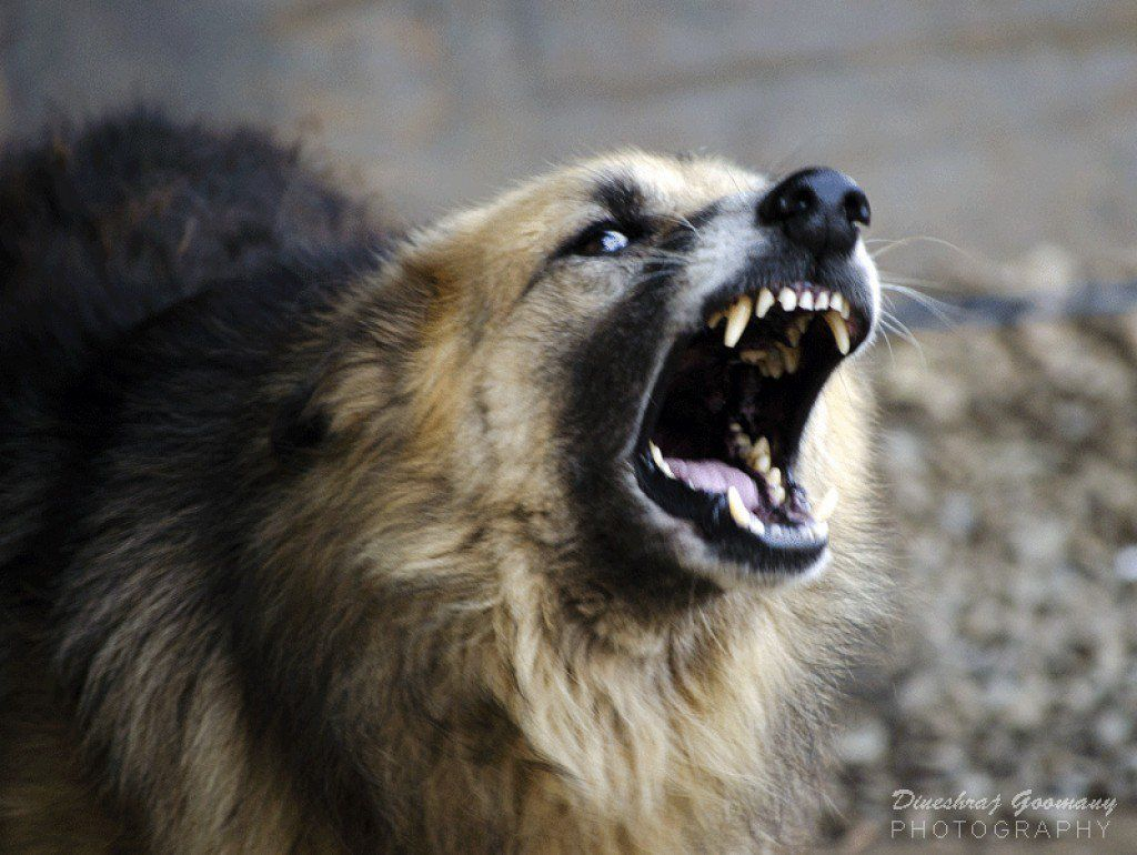 How To Cope With And Manage An Aggressive Dog Aggressive Dog Agressive Dog Dogs