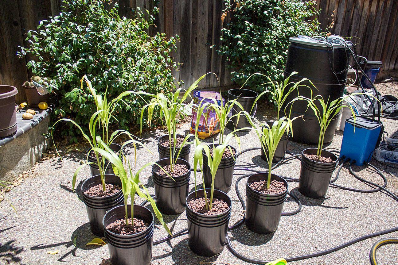 Hydroponic Corn In My Back Yard   Hydroponic gardening ...