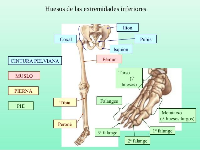 Huesos de las extremidades inferiores CINTURA PELVIANA MUSLO PIERNA ...