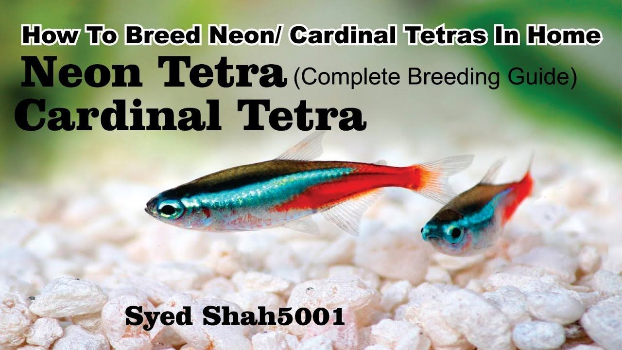 How To Breed Neon Tetras For Beginners How To Breed Tetras Neon Tetra Neon Tetra Fish Tetra Fish Neon Tetra