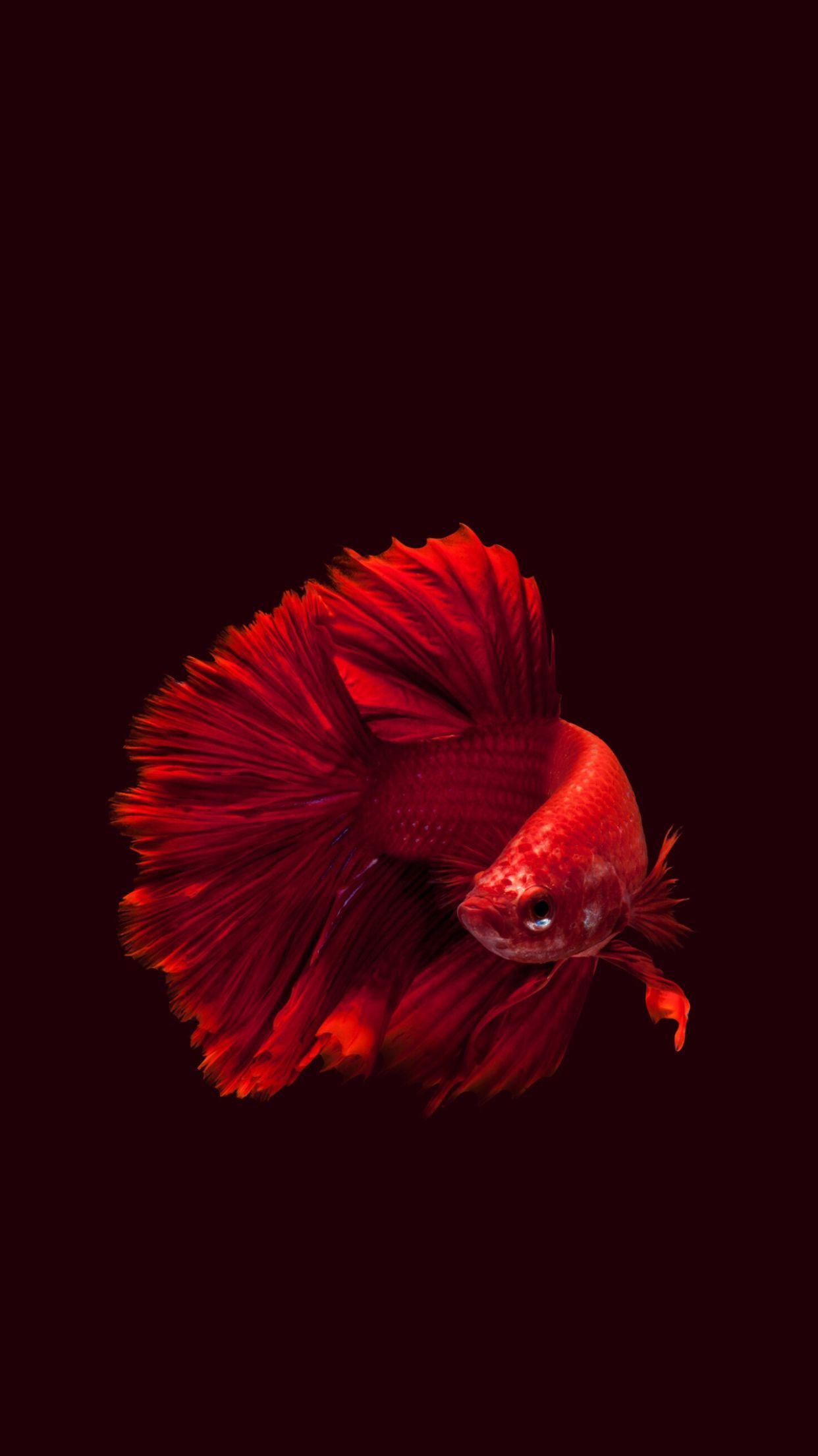 Smshbdcndj Fish Wallpaper Siamese Fighting Fish Betta Fish