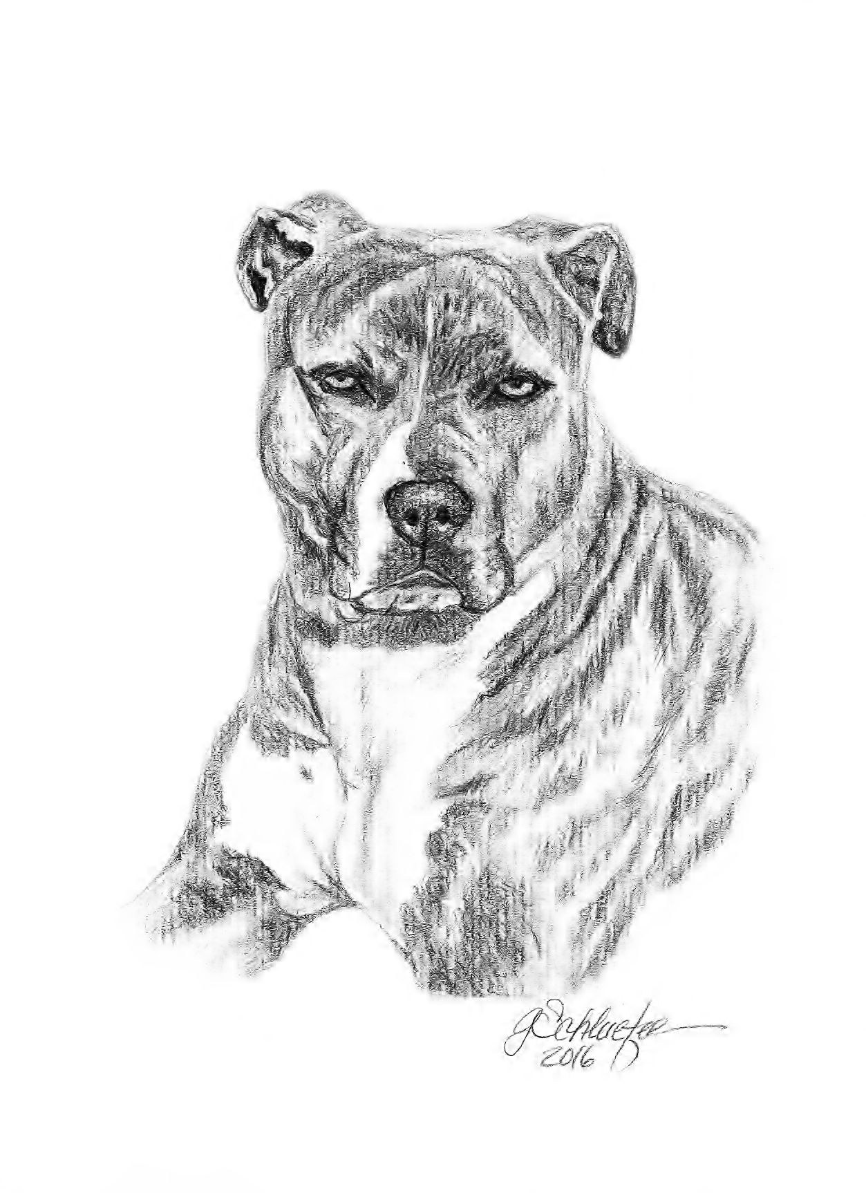 Brindle Pitbull Sketch A Hand Drawn Portrait In Graphite Pencil