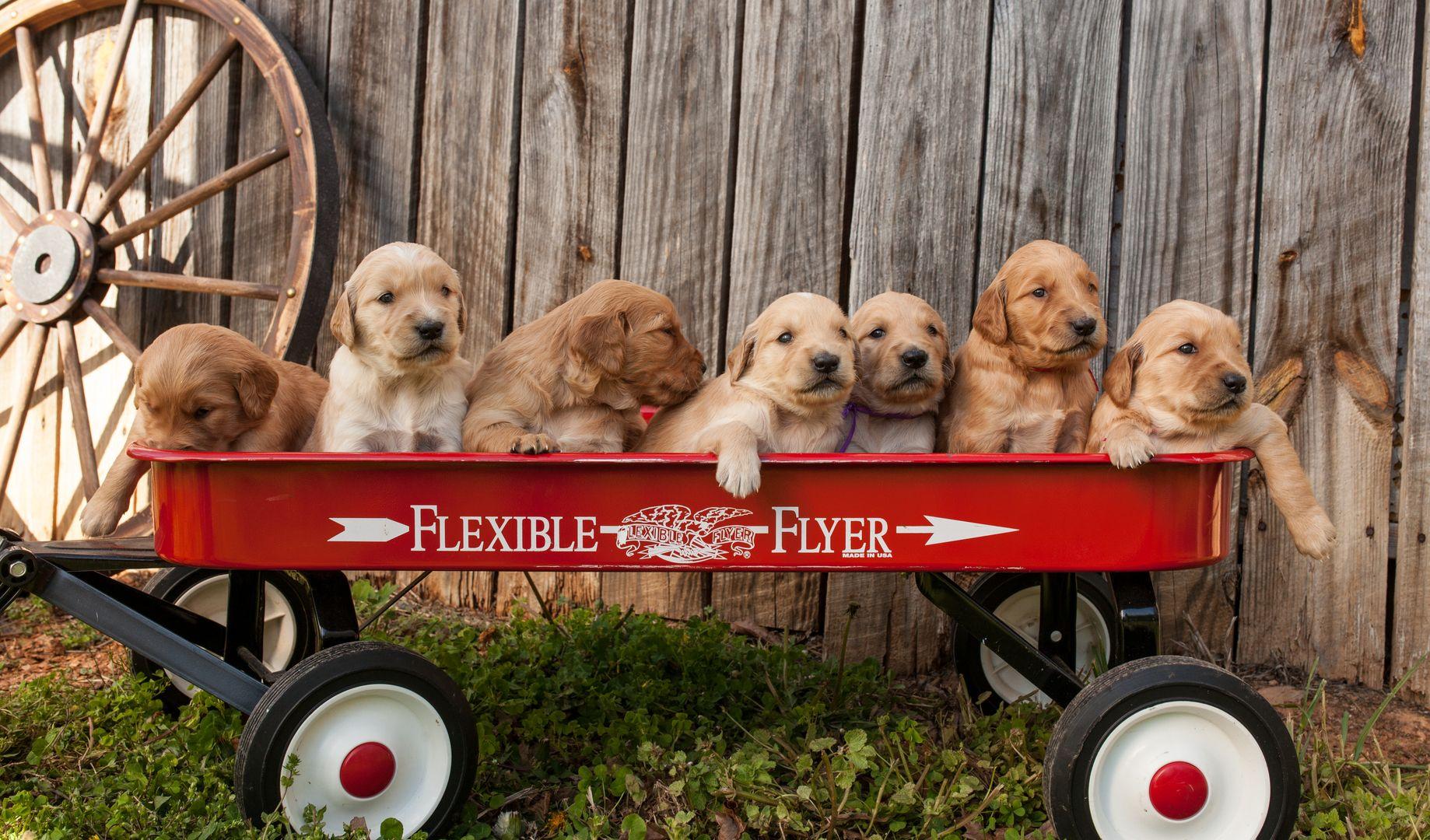 Golden Retriever Puppies For Sale English Cream Retriever Puppies Roland S Retriever S Navarre Fl Retriever Puppy Puppy Litter Golden Retriever Breeder