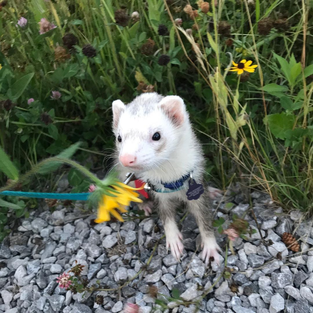 Remember To Stop And Smell The Flowers In 2020 Funny Ferrets Baby Ferrets Cute Ferrets