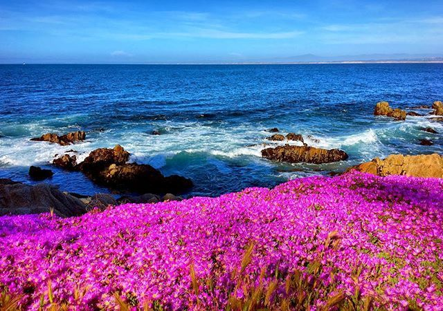 Springtime in Pacific Grove. Ice Plant carpets the beach front in beautiful pink blossoms. Pacific Grove, California. . . #pacificgrove #landscapecaptures #landscapephoto #cascadiaexplored #cascadia_spring #seascapes #seascape_lovers #seascapephotography #naturalworld #naturalwonders #monterey #montereypeninsula #montereybay #wildflowerseason #californiasuperbloom #superbloom #iceplant #californiaphotographer #californiadreamin #pacificcoast #pacificjewel #pacificcoasthighway1 #montereylocals -