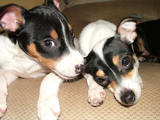 tasty ear by john mccoy rat terrier dogs toy fox terriers pet station pinterest