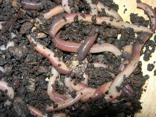 Earthworm Facts For Kids Facts About Earthworms For Kids Facts For Kids Earthworms Soil Improvement