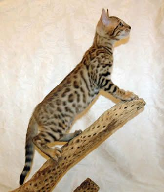 Sierra Gold Bengals Is A California Breeder Of Championship Quality Silver Bengal Kittens Brown Bengal Cats Gold Be Bengal Cat Bengal Kitten Cat Breeds Chart