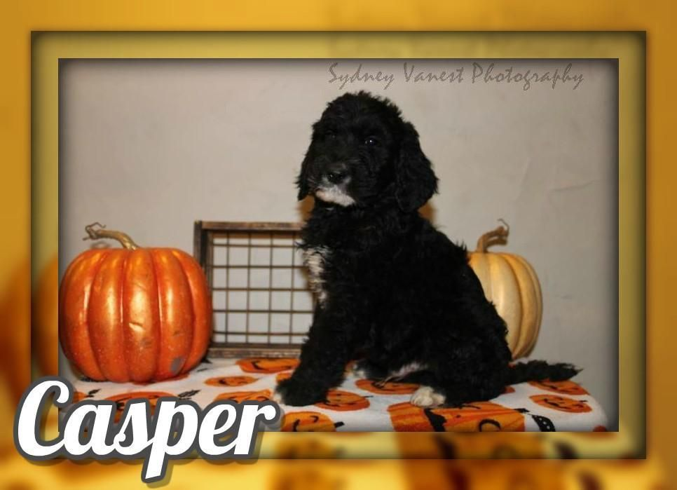 Casper F2 Male Labradoodle 600 Labradoodle Labradoodle Puppies For Sale Labradoodle Puppy