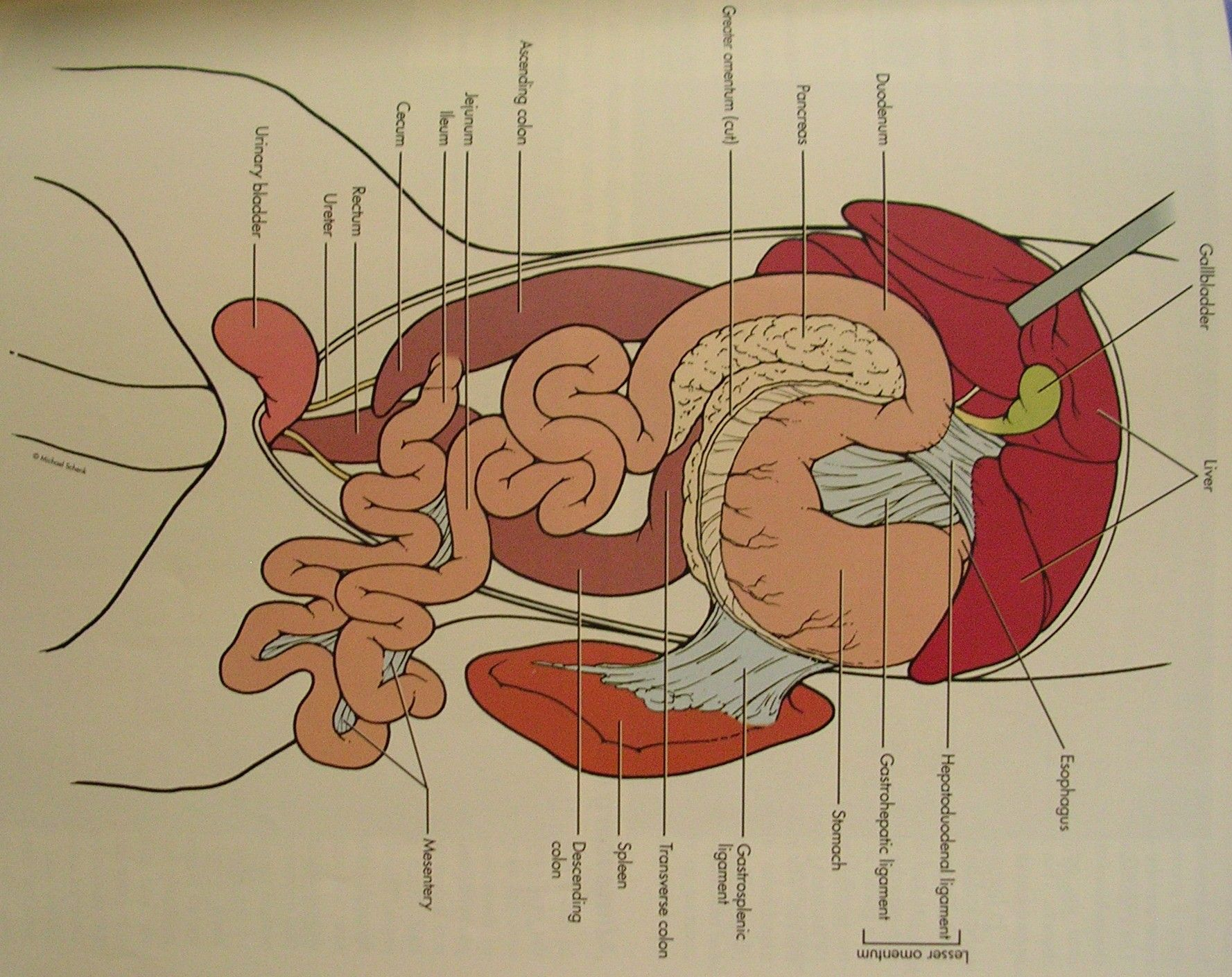 intestines is the lysosome of the cat. it breaks down foods, and ...
