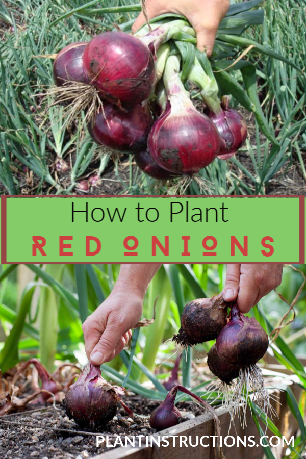 How To Grow Red Onions Planting Onions Growing Onions Organic