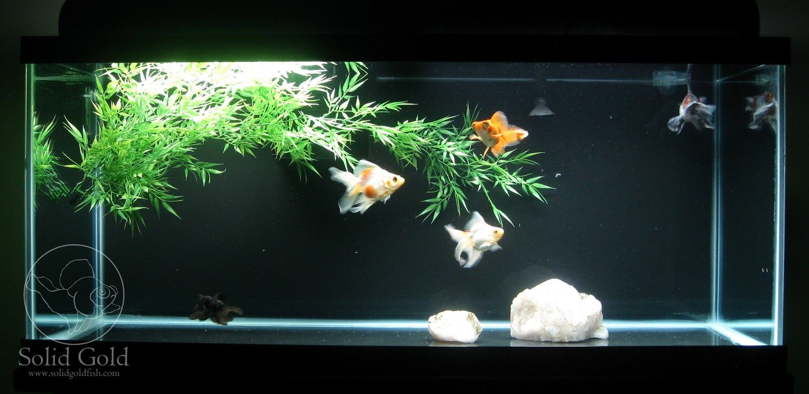 Bare goldfish tank simple but effective bare bottom tank for Easy aquarium fish