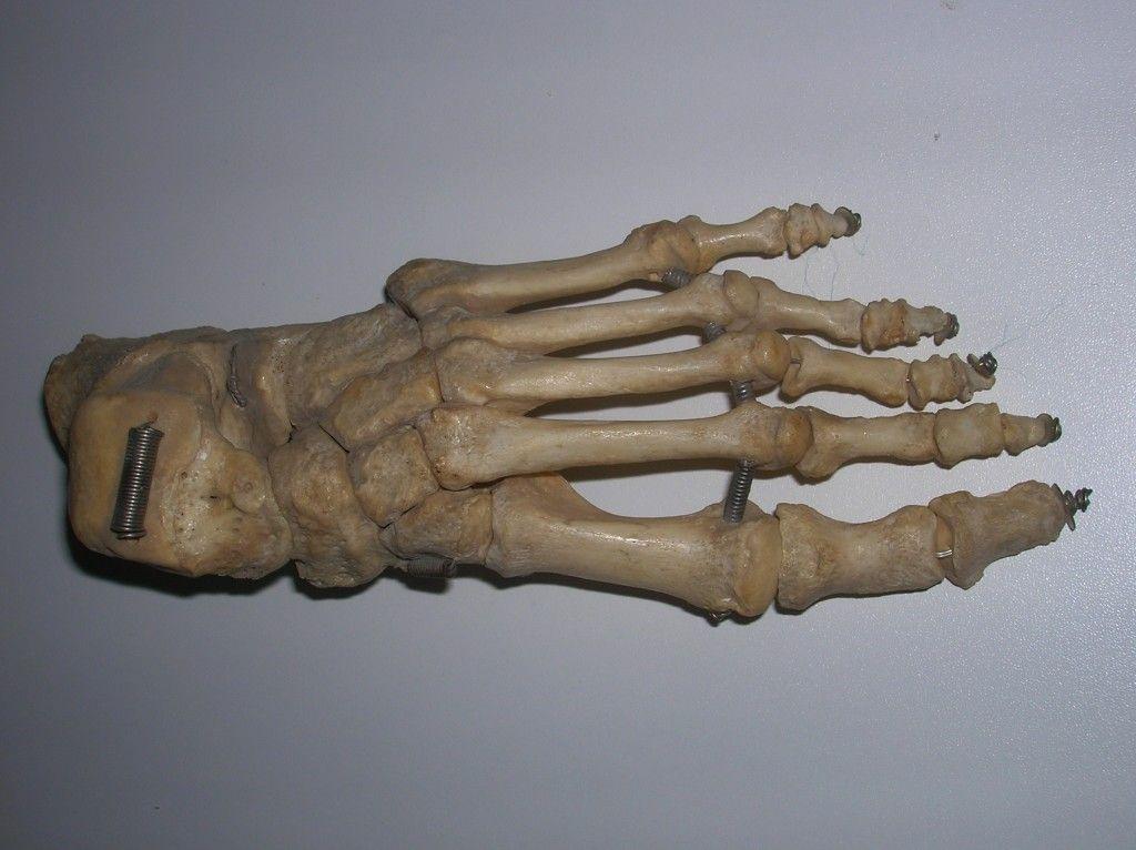 human foot : wiki commons | anatomy-human | pinterest | bone jewelry, Skeleton