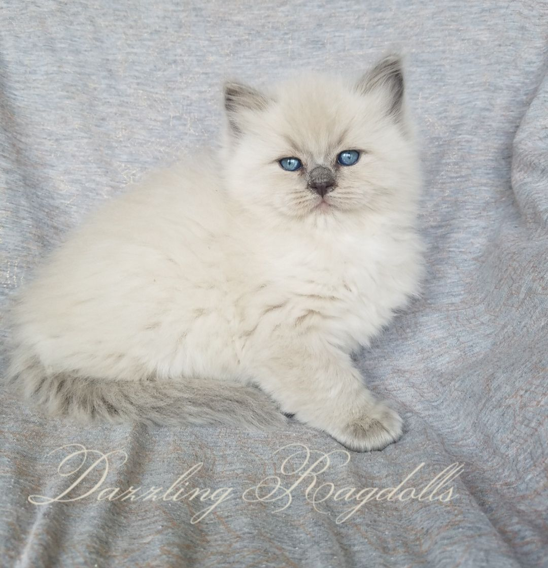 Dazzling Ragdolls Kittens Photo Gallery Page (With