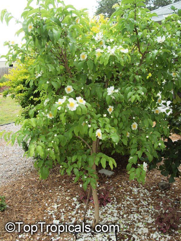 Oncoba spinosa, Snuff-box Tree, Fried Egg Tree