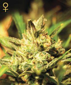 Marihuana Super Critical Auto de Greenhouse Seeds