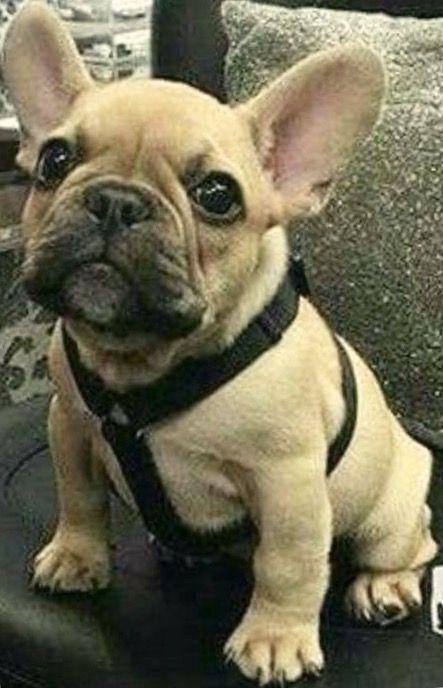 French Bulldog Puppy Frenchie Bulldog French Bulldog