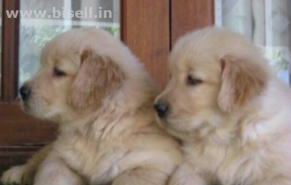 Http Www Bisell In Chennai Extreme Guarding Dog Golden Retriever Puppies For Sales 20218 Ad Details Golden Retriever Dogs Golden Retriever Dogs
