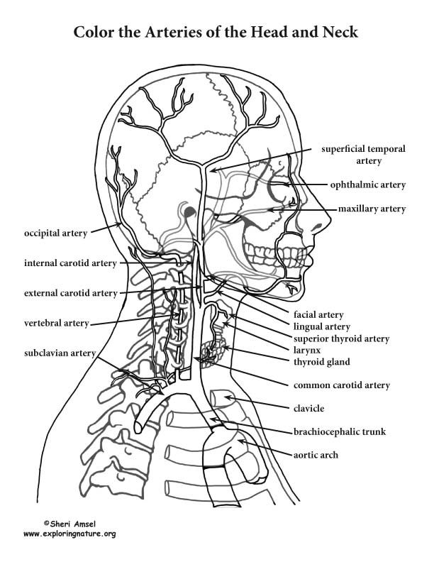 Image Result For Free Human Anatomy Coloring Pages Pdf Anatomy