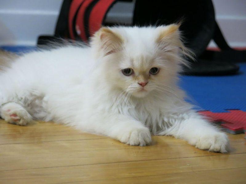 Himalayan cat flame point
