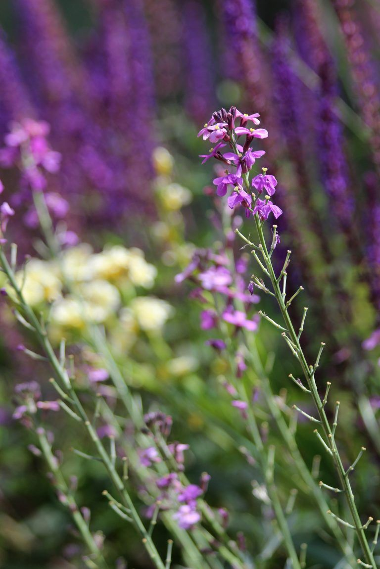 Top 10 Everlasting Perennials Perennials Gardens And Flowers