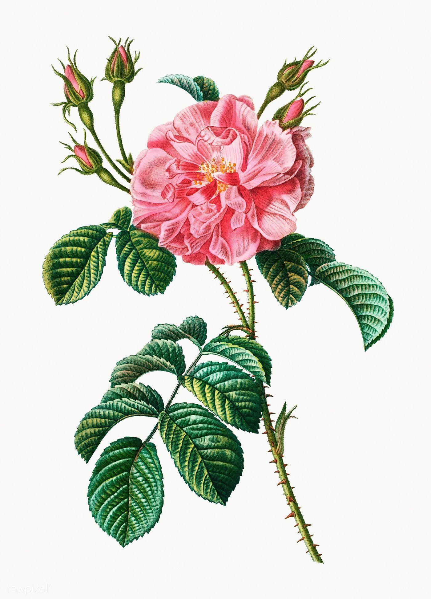 Download Premium Illustration Of Vintage Pink Wild Rose Illustration 569481 Rose Illustration Flower Painting Free Illustrations