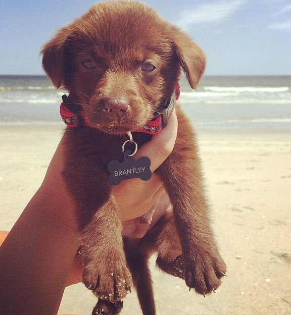 Chocolate Lab Puppy At The Beach Lab Puppies Cute Animals Puppies