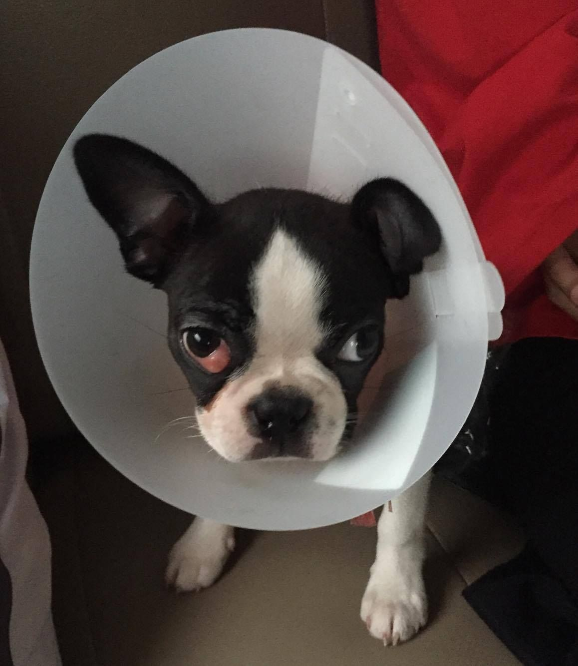 Do You Have Any Experience About Cherry Eyes Boston Terrier