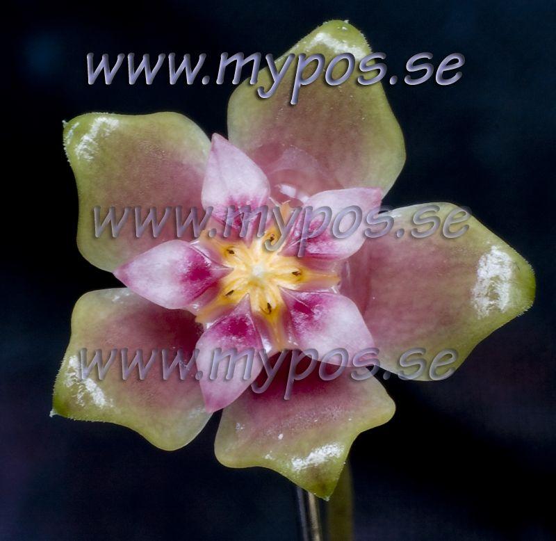 Hoya glabra<br>Copyright©mypos
