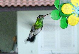 Kolibri Im Hinterhof, Boraceia, Bertioga