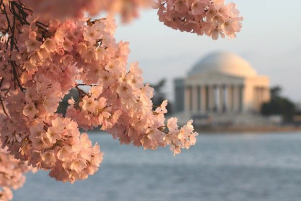 Celebrate D C S Cherry Blossom Festival At These Hotels Cherry Blossom Festival Washington Dc Cherry Blossom