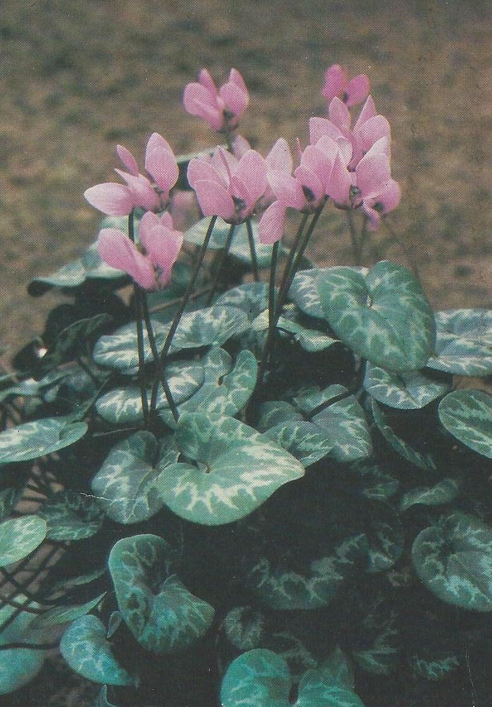 цикламен | Цветы, Фиалки, Розовые цветы