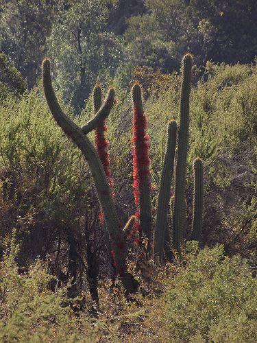 cactus con plagas