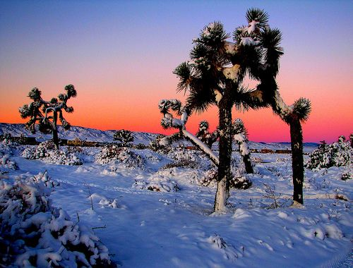 Photo of Joshua Trees en invierno