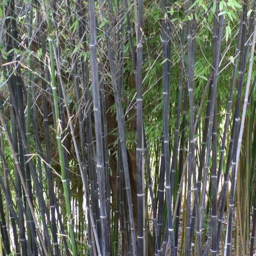 Phyllostachys nigra. Orígenes geográficos: Originario de China y de Taiwan. Dimensión planta adulta: 5,5 a 7,5m metros de altura. Diámetro de la caña: 2 a 4 cm. Follaje: Perenne. Tipo de suelo: Fresco y profundo. Teme exceso de caliza. Clima: Resguardar de los vientos fríos. Exposición: Pleno sol. Rusticidad: -22°C. Desarrollo racinario: Variedad poco rastrera.