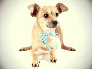 Churro Is An Adoptable Chihuahua Dog In Sacramento Ca My Name Is