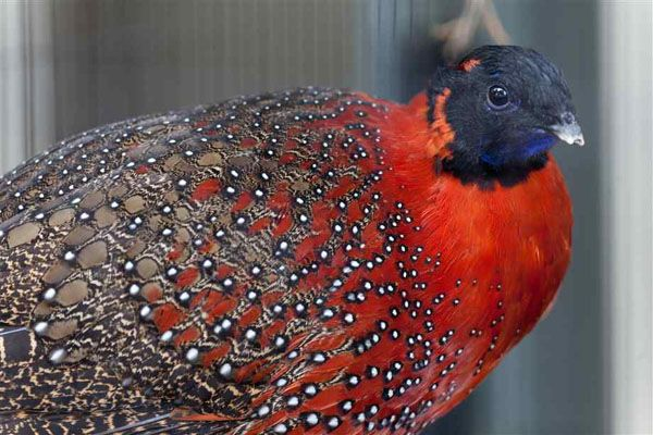 close up pheasant turkey google search quail animals birds peacocks pet