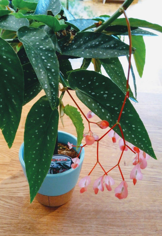 Begonia Tamaya Little Green Stories Plantshop Gent 640 x 480
