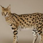Savannah cat! I want one!!