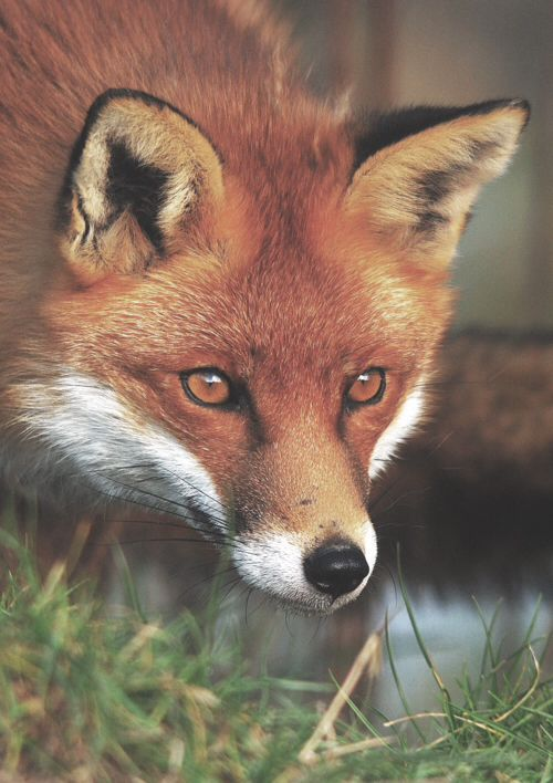 Immagine tramite We Heart It https://weheartit.com/entry/143057065 #animal #art #cute #fox #nature #photography #sweet