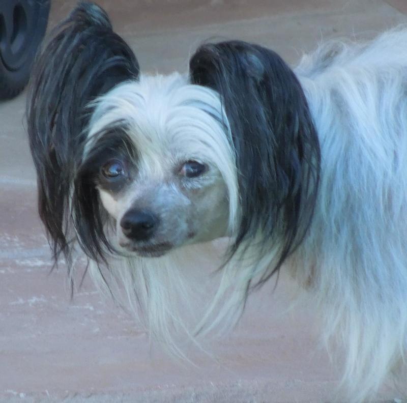 Adopt Smoochie (AZ) on Chinese crested dog, Small dog